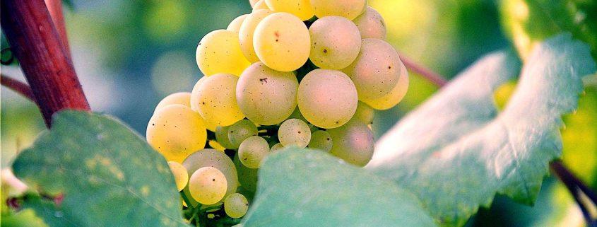 Grappe de raisin Chardonnay, vignes Gantois-Louvet